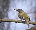 Green woodpecker (35054020414).jpg