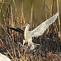 Greenbacked heron, coming in to land (36569101915).jpg