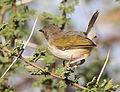 Grey-backed Camaroptera, Camaroptera brachyura, at Mapungubwe National Park, Limpopo, South Africa (18127723942).jpg