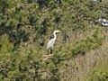 Grey heron at Mali lag, Botevgrad, Bulgaria 03.jpg
