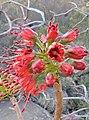 Greyia sutherlandii03.jpg