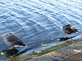 Greylag Gooses (Anser anser), standing on one leg, London 2007.jpg