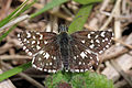 Grizzled skipper (Pyrgus malvae).jpg