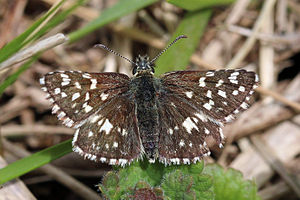 Grizzled skipper - Aston Upthorpe, Oxfordshire
