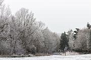 Groep met rijp bedekte bomen 03.jpg