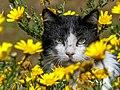 Grumpy Cat (35473805262).jpg