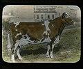 Guernsey Cow (22182730383).jpg