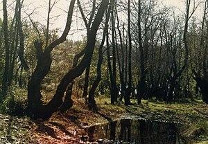 Dalaman - Turkish sweetgum (Liquidambar orientalis) tree grove near Dalaman