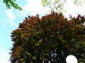 Hêtre pourpre parc Pierrefitte-Nestalas feuillage (3).JPG