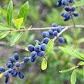 HISP - Wild Berries.jpg
