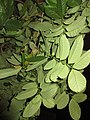 HK 上環 Sheung Wan night green plants 磅巷 Pound Lane November 2017 IX1 tree 大花紫薇 Lagerstroemia speciosa 02.jpg