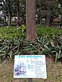 HK 中環 Central 遮打花園 Chater Garden flora green leaves n trees March 2020 SS2 28.jpg