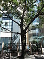 HK CWB Summer 棉花路 Cotton Path tree un-01.JPG