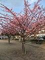 Hachisuka-sakura.JPG
