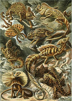 http://upload.wikimedia.org/wikipedia/commons/thumb/7/7a/Haeckel_Lacertilia.jpg/240px-Haeckel_Lacertilia.jpg