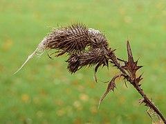 Halflege zaaddoos van een speerdistel (Cirsium vulgare) in verval. (d.j.b.) 04.jpg