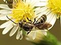 Halictid Bee (31492841630).jpg
