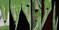 Hampsons hedgehopper larva making cell (3652605310).jpg
