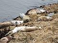 Harbor Seal (Phoca vitulina) 01.jpg