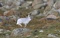 Hare, Steinodden.jpg