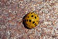 Harlequin ladybird (BG) (23616988288).jpg
