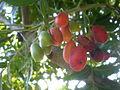 Harpephyllum caffrum 2c.JPG