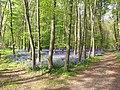 Hasenglöckchen in Rurtal nördl. von Jülich (Naturschutzgebiet Kellenberger Kamp).jpg