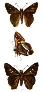 <i>Hasora khoda</i> Species of butterfly