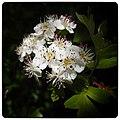 Hawthorn Flower (18210890088).jpg