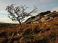 Hawthorn and rocks near Horra Burrow - geograph.org.uk - 1015773.jpg