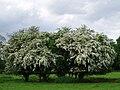 Hawthorn blossom in Allesley 1.jpg