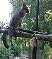 Heard Fox Cage.jpg