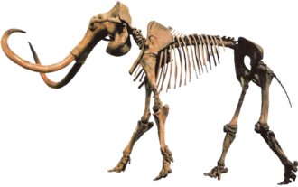 "Clovis culture - Mammuthus primigenius ""Hebior Mammoth specimen"" bearing tool/butcher marks, cast skeleton produced and distributed by Triebold Paleontology Incorporated"