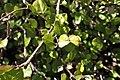 Helichrysum lanceolatum kz10.jpg