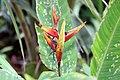 Heliconia psittacorum x Heliconia spathocircinata 2zz.jpg