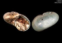 Helicrenion reticulatum (MNHN-IM-2000-31406).jpeg