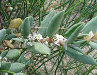 Heliotropium curassavicum02