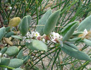Heliotropium curassavicum02.jpg