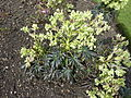 Helleborus foetidus 'Stinking Hellebore' (Ranunculaceae) plant.jpg