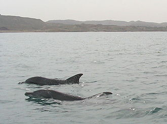 Hengam Island - Image: Hengam Dolphins
