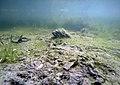 Herbier subaquatique d'eau douce détruit de Ceratophyllum et algues filamenteuses lille aout 2018 a 05.jpg