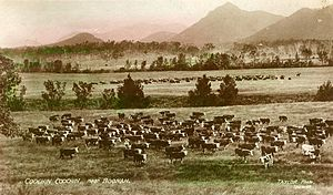 Boonah, Queensland - Postcard of Hereford cattle on Coochin Coochin Station, near Boonah, 1909. In the background Mount Barney and the McPherson Range of the Scenic Rim can be seen.
