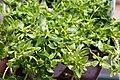 Herniaria glabra 1zz.jpg