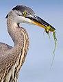 Heron 8684-001.jpg
