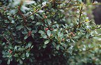 Hesperomeles obtusifolia 1