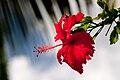Hibiscus Flower (Imagicity 622).jpg