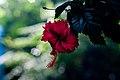 Hibiscus Flower (Imagicity 863).jpg