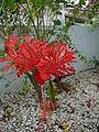Hibiscus schizopetalus 0004.jpg