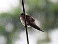 Hill swallow IMG 6299.jpg