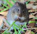 Hispid Cotton Rat eating stalk of grass St. Marks NWR 2018-04-01.jpg